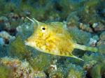 JLyle Aug14 cowfish